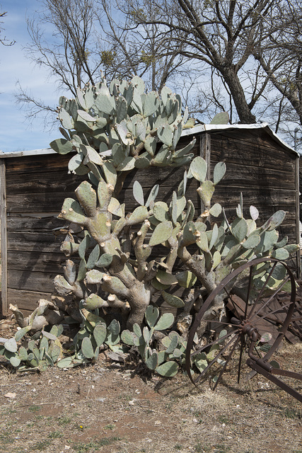 Prickly pear cacti and an old wagon wheel near a shed at the Buffalo Gap Historic Village in the unincorporated Taylor County, Texas, town of the same name, near Abilene