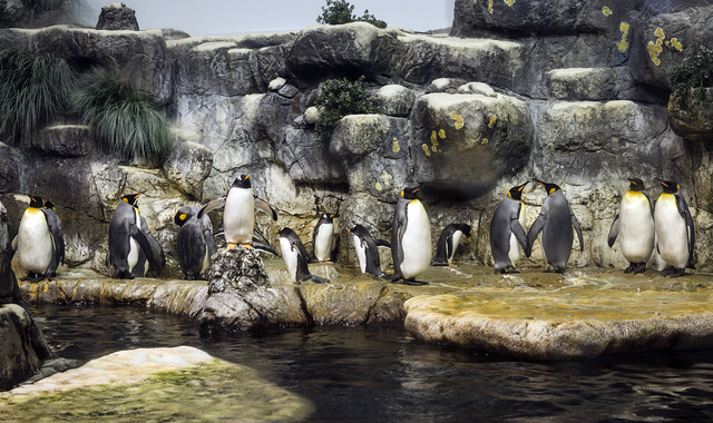 Show-stopping penguins at the Aquarium Pyramid at Moody Gardens, an educational tourist attraction in Galveston, Texas