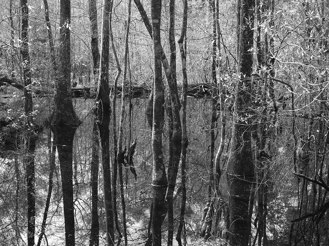 Swampy section in the Polk County portion of Big Thicket National Preserve, a U.S. Park Service area set aside to protect plants and wildlife in the marshy Big Thicket, a heavily forested corner of Southeast Texas