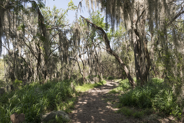 Trees draped with Spanish moss within the Santa Ana National Wildlife Refuge, on the Rio Grande River border with Mexico in Hidalgo County, Texas