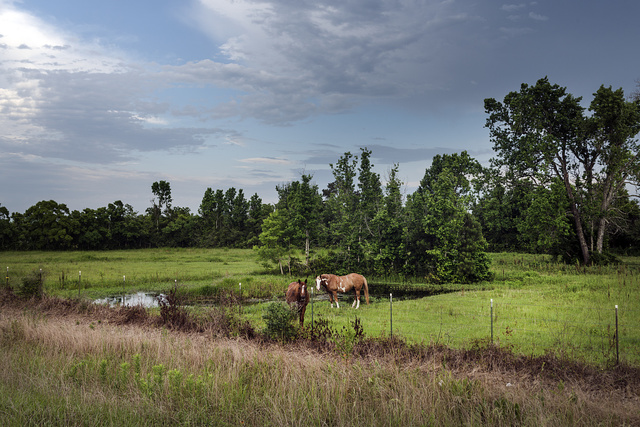 Two horses stand amid lush surroundings near Cleveland in Liberty County, Texas