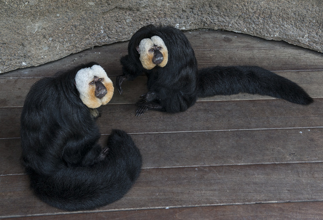 Two white-faced Saki monkeys, who roam freely in the Rainforest Pyramid at Moody Gardens, an educational tourist attraction in Galveston, Texas