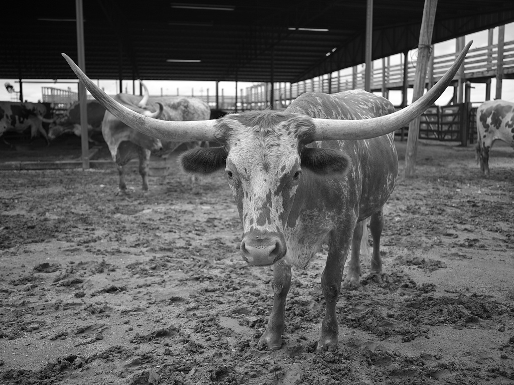 View of a Texas Longhorn in his pen in the Stockyards