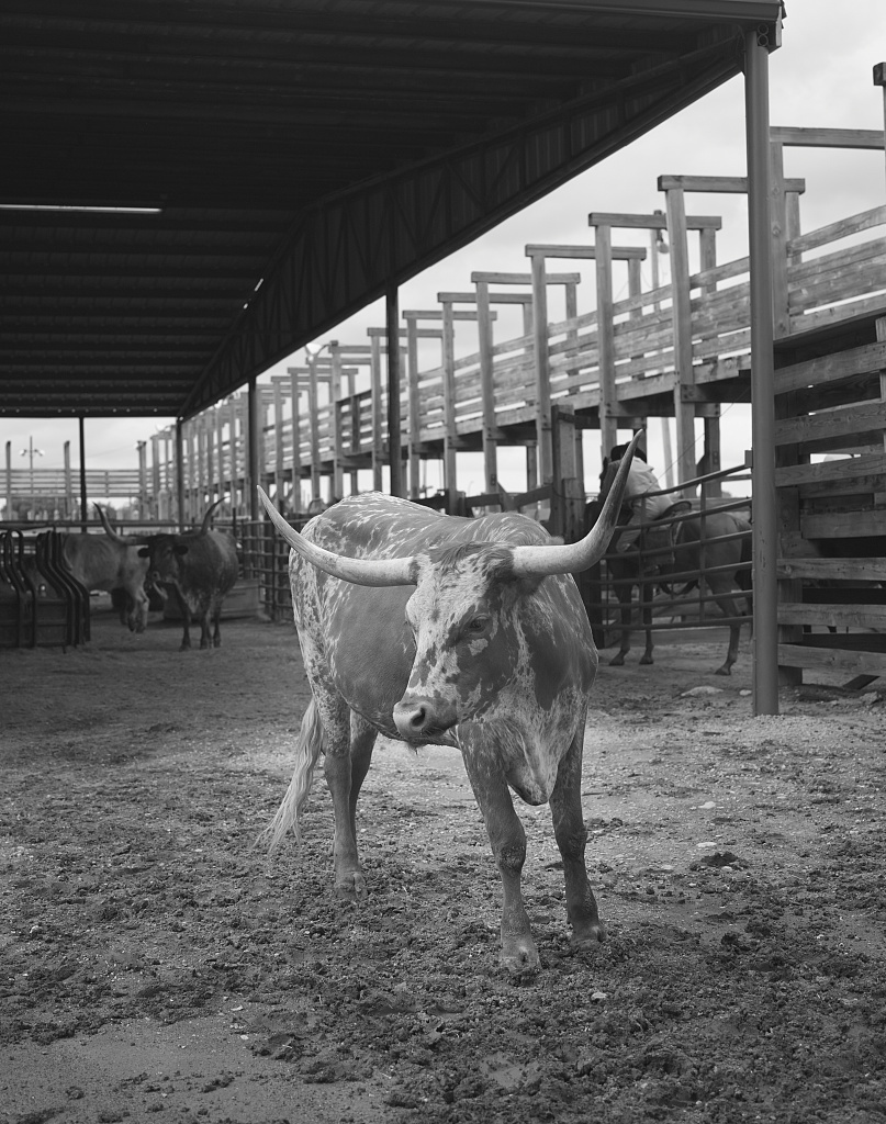View of a Texas Longhorn in his pen in the Stockyards district of Fort Worth, Texas. Twice daily, the longhorns are herded up Exchange Street there for the benefit of tourists