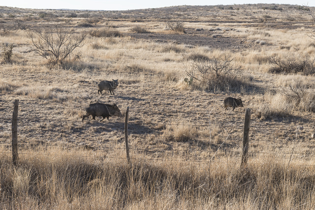 Wild javelinas, or peccaries, scurry across a field in rural Presidio County, Texas, south of Marfa