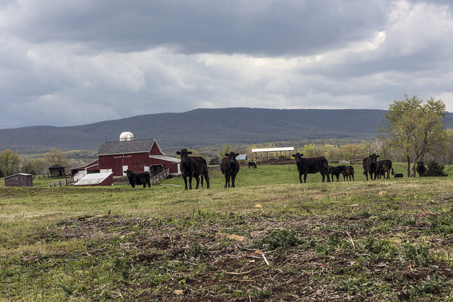 Attentive cows on the Ralph O. Lamp farm in Hampshire County, West Virginia