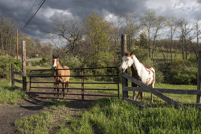 Attractive horses in rural Hampshire County, West Virginia