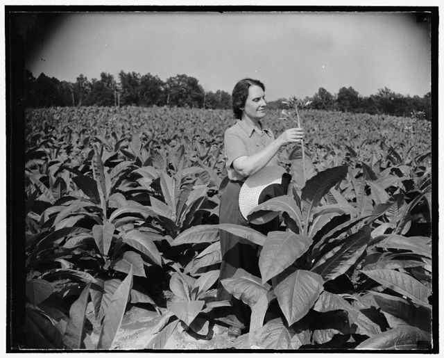 Director of mint relaxes on newly acquired farm. Solomon's Island, MD, July 29. Director of the Mint, Nellie Tayloe Ross, finds rest and relaxation from her arduous Treasury duties on her newly acquired 200 acre farm here. She is pictured among her 60,000 tobacco plants which are soon to be harvested. The house on the farm is over 100 years old, 7/29/38
