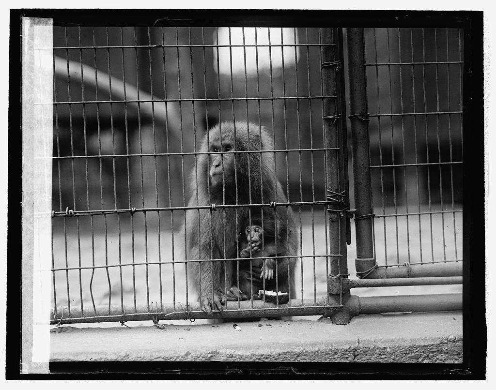 Japanese monkey & baby at Zoo, 5/3/26