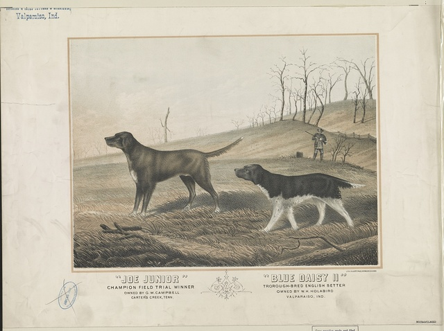 """Joe Junior. Champion field trial winner. Owned by G.W. Campbell. Carter's Creek, Tenn. """"Blue Daisy II"""". Troroughbred english setter. Owned by W.H. Holabird. Valparaiso, Ind."""