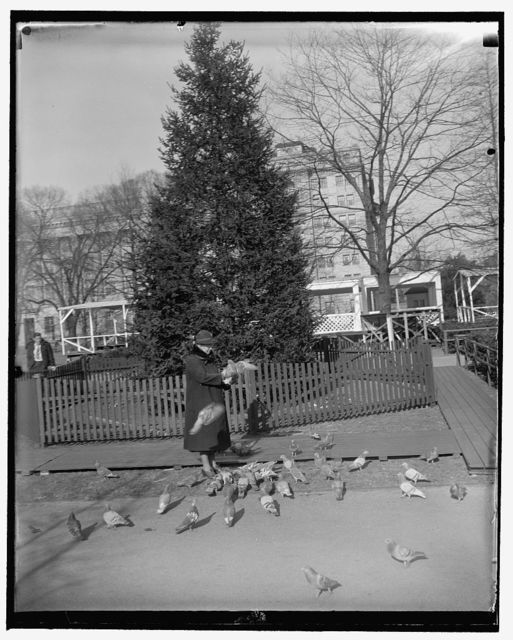 Nation's Christmas tree ready to be lighted. Washington, D.C., Dec. 22. The Nation's community Christmas tree across from the White House in Lafayette Square, is now in readiness for President Roosevelt to push the switch on Christmas Eve to set it aglow with gayly colored lights. Miss Mable White is pictured feeding the pigeons before the tree today, 12/22/38