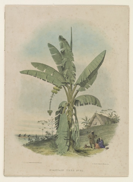 Plantain tree no. 40