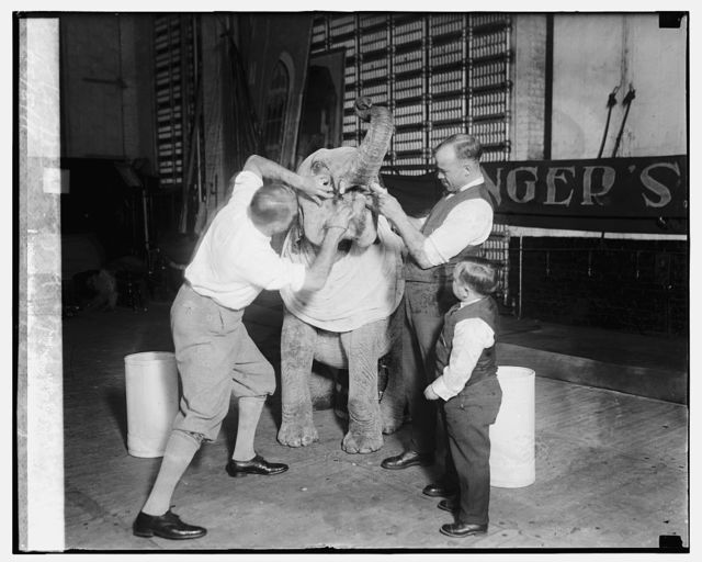 Robert Ellen pulling tooth of baby elephant, 11/3/24
