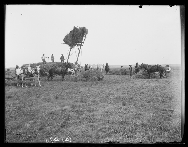 Stacking hay on the Weston Ranch, Kearney, Nebraska.