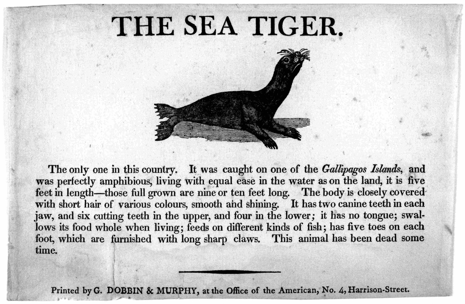 The sea tiger. [Picture of sea tiger] The only one in this country. It was caught on one of the Gallipagos Islands ... Printed by G. Dobbin & Murphy , at the Office of the American, No. 4. Harrison-Street. [n. d.].