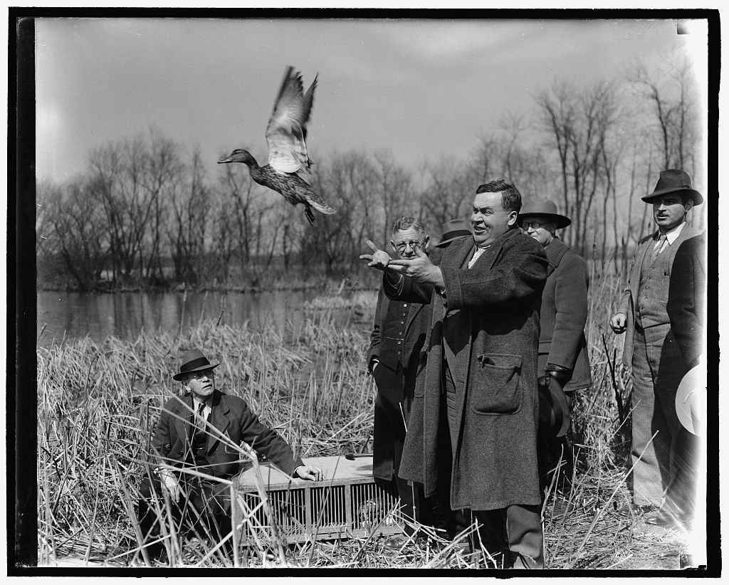 They brought the ducks but didn't have a dinner on them. Washington, D.C., March 8. The Biological Survey Department of the Interior Department this morning took several crates of ducks to a waterfowl sanctuary near Washington on the Potomac River and released them as part of the survey's experiment on the travel of ducks. Here, Dr. Ira N. Gabrielson, chief of the biological survey, is releasing one of the wild ducks, 3-8-40