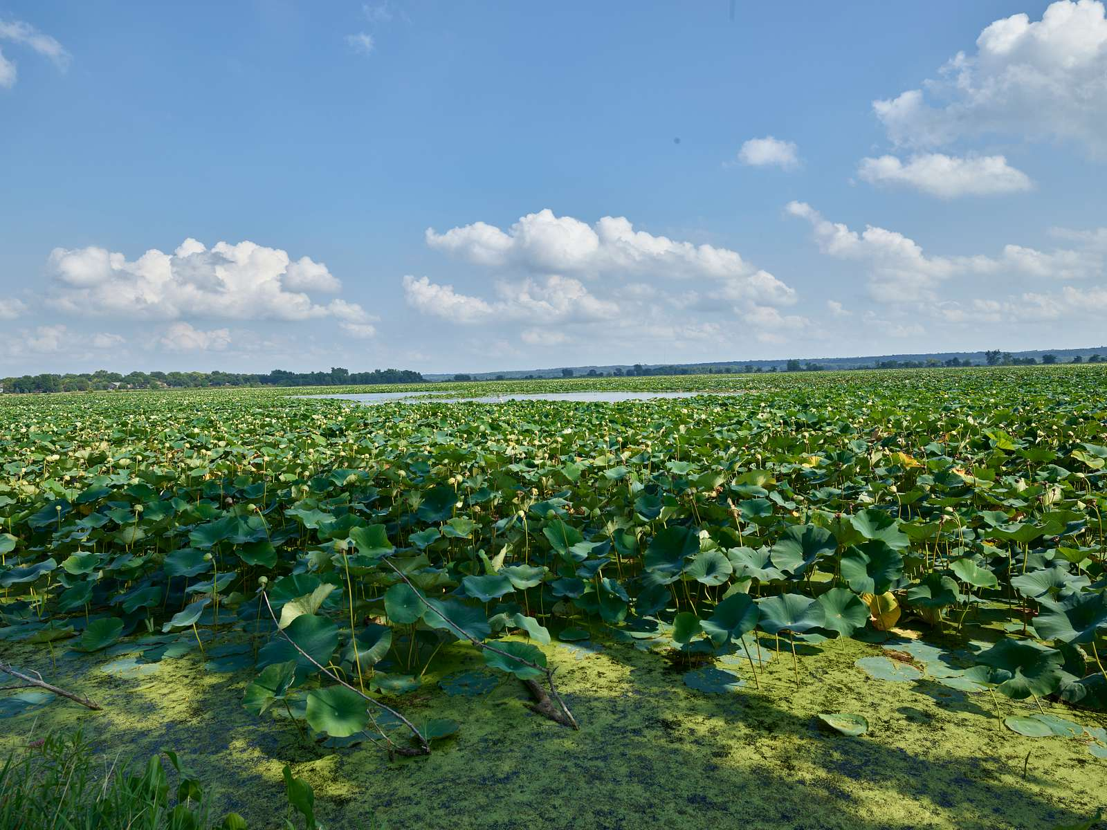 A veritable sea of lily pads between Amana and Middle Amana, two of the Amana Colonies, seven villages in Iowa County, Iowa