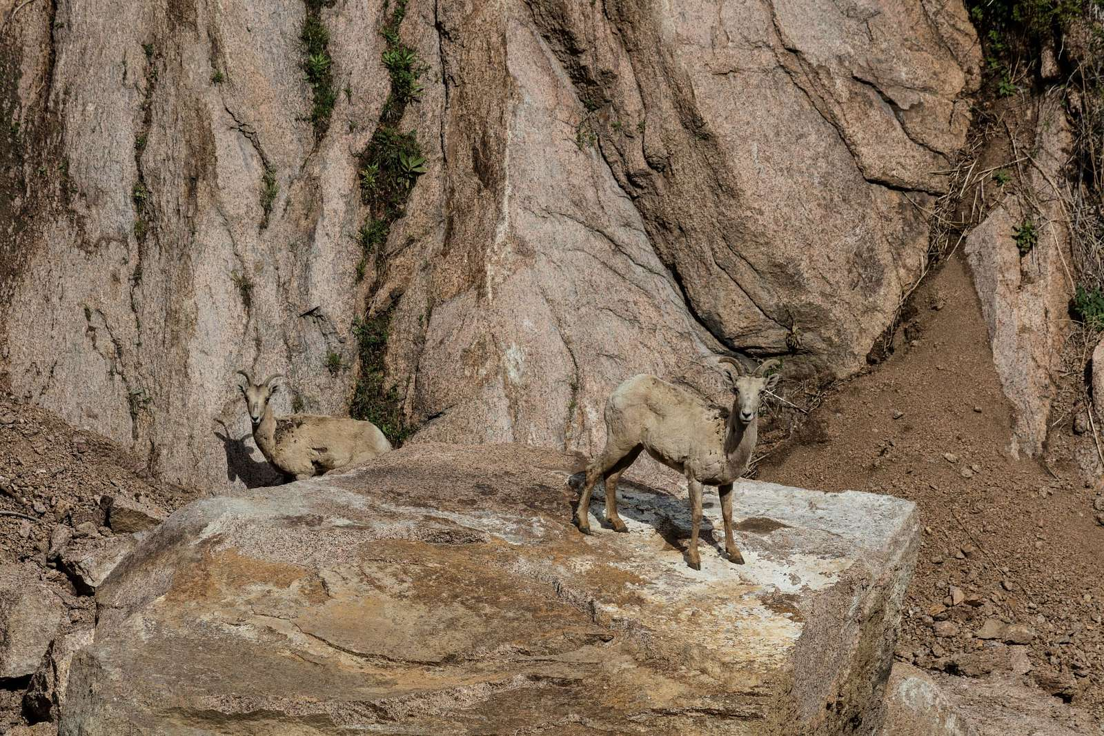Rocky Mountain bighorn sheep ewes stare warily from the rocks near Cheesman Dam, one of the dams that slows and captures water from the South Platte River for use as part of Denver's drinking-water supply. Cheesman Dam, which was named for Walter Scott Cheesman, a Denver druggist, railroad builder, and designer of water infrastructure, was the world's tallest at 221 feet when it was completed in 1905