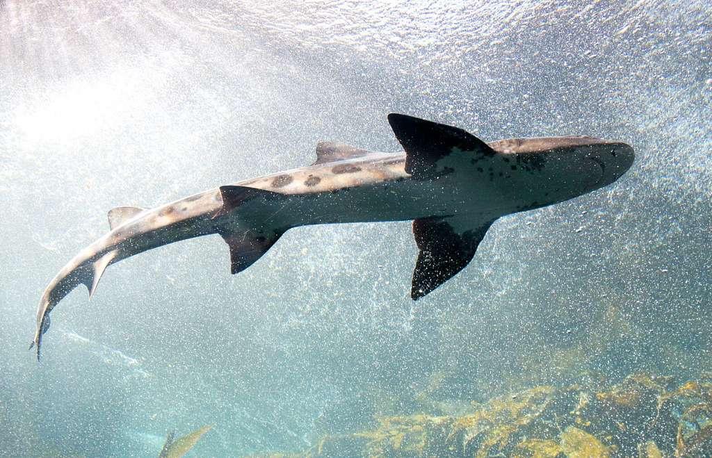 Shark at Monterey Bay Aquarium, Monterey, California