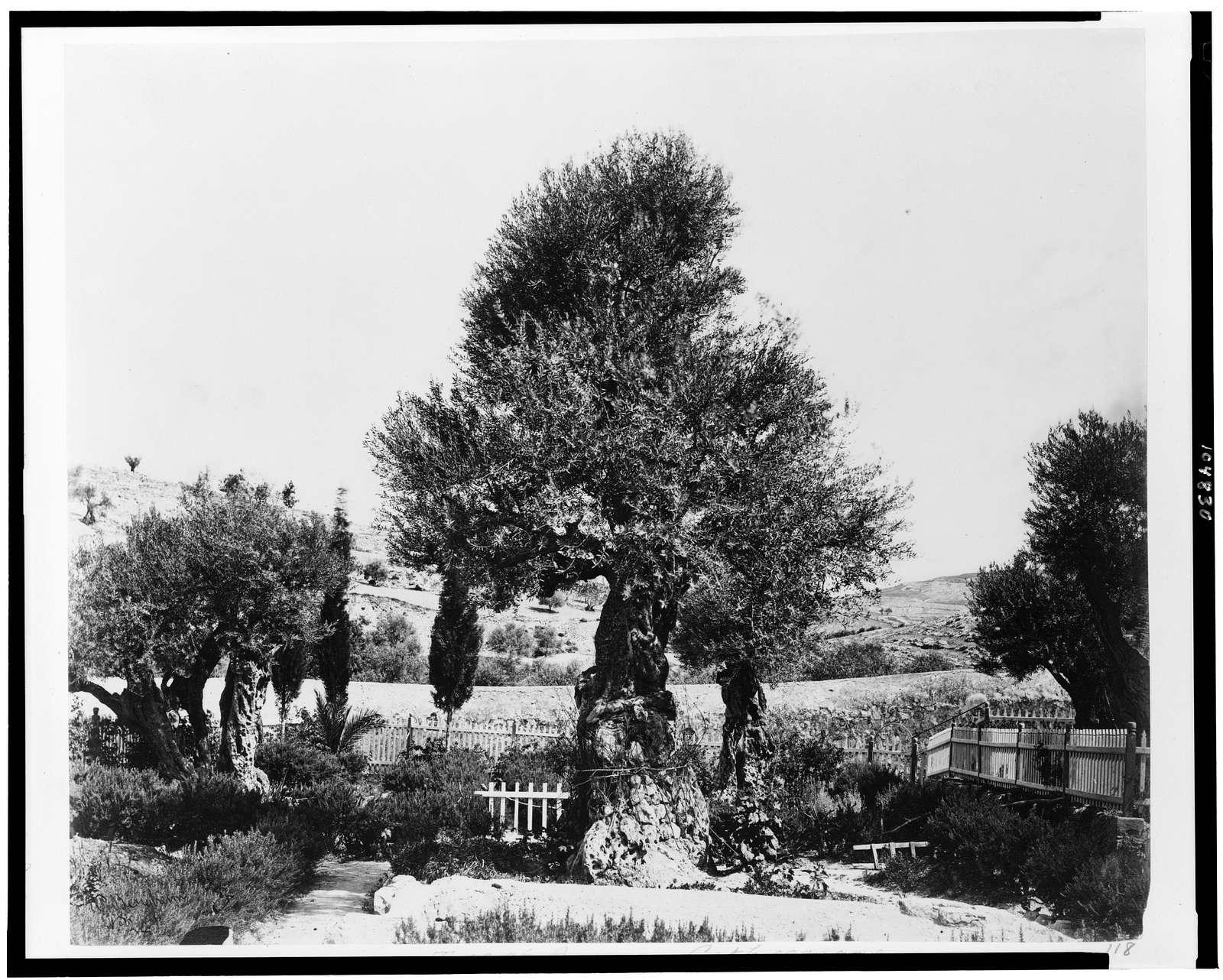 [Tree of Agony, Gethsemane] / P. Bergheim.