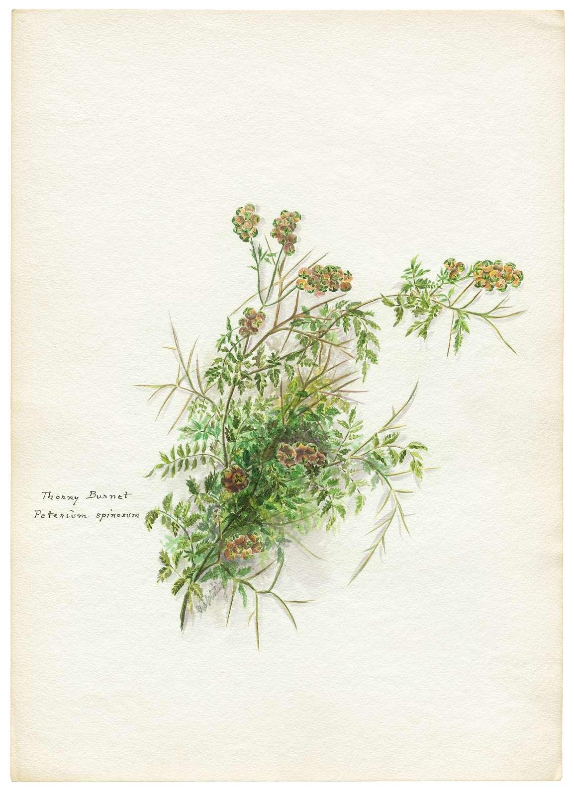 Thorny burnet, Poterium Spinosum / G.S. Whiting.