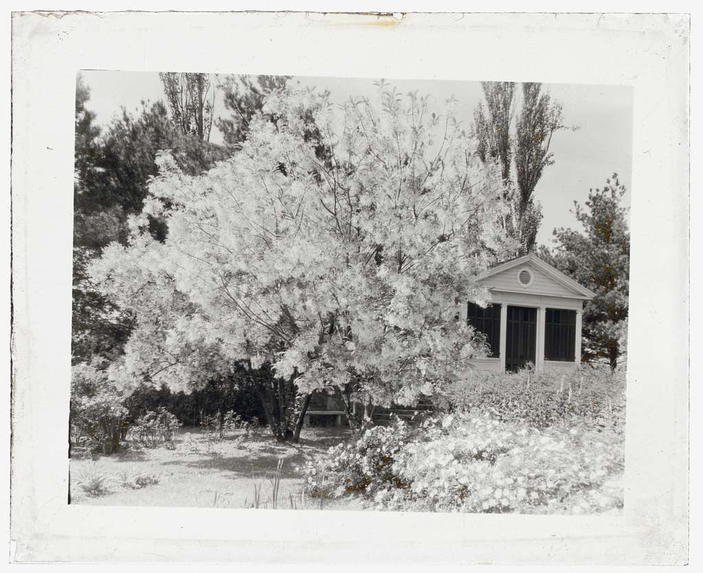 """[""""Belvoir,"""" Fairfax Harrison house, Star Route 709, The Plains, Fauquier County, Virginia. Fringe tree and porch]"""