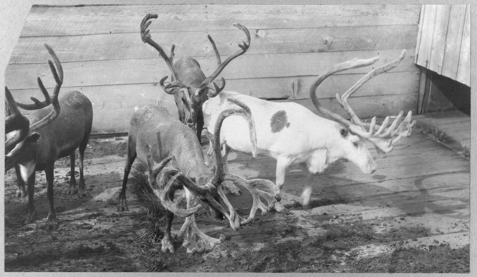 Reindeer waiting to be slaughtered