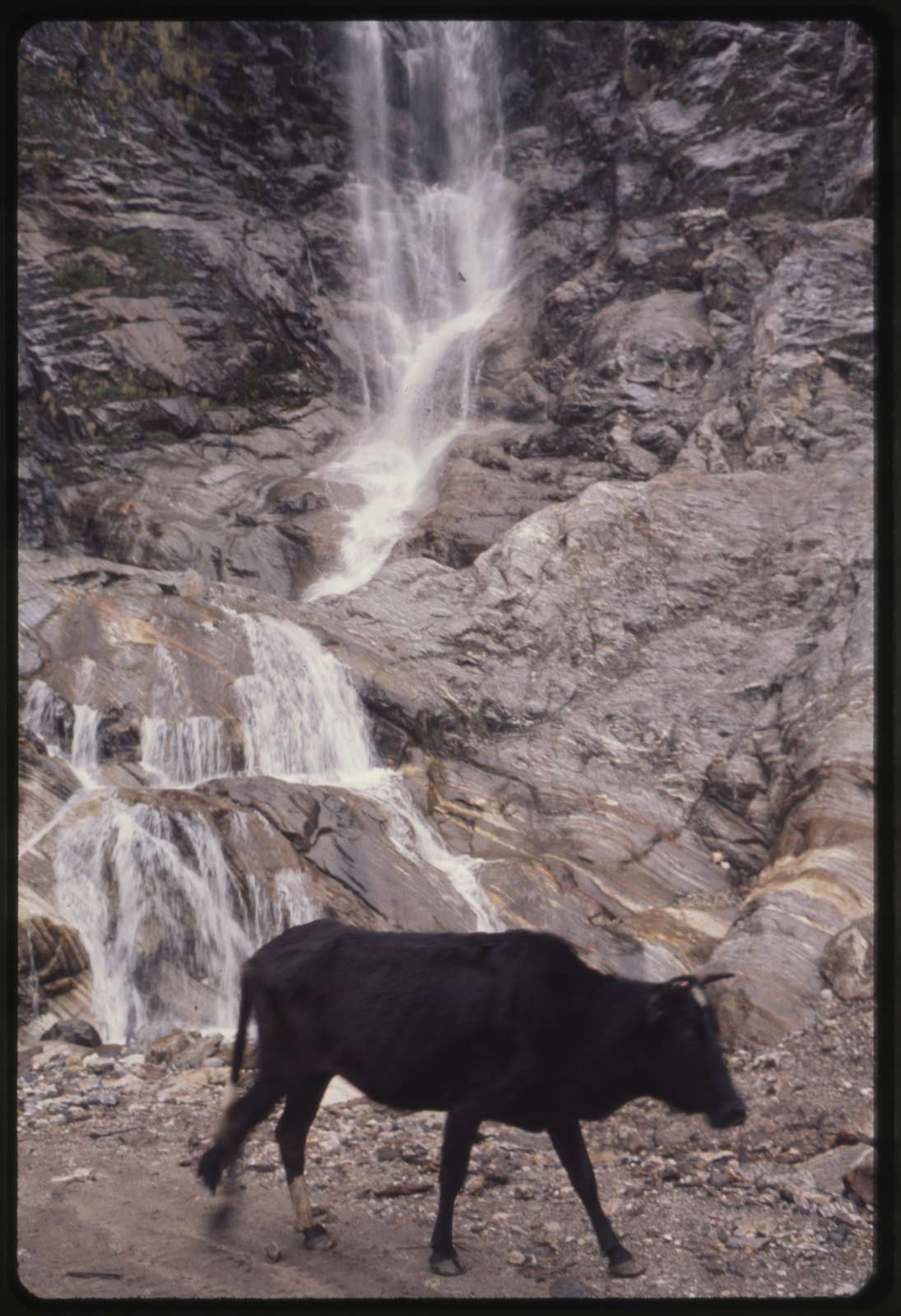 [Bull? or ox? in front of waterfall, Lachung, Sikkim]
