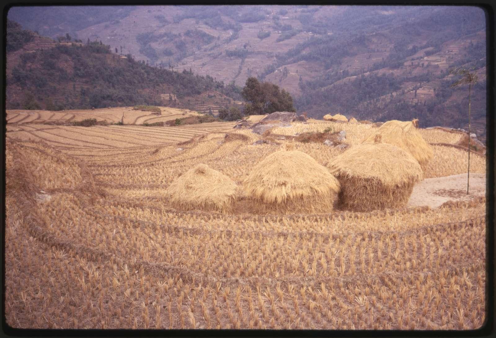 [Rice terraces during dry season, Sikkim]