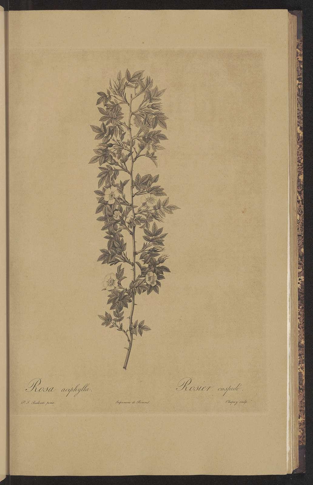 Les roses, par P. J. Redoute; avec le text par Cl. Ant. Thory
