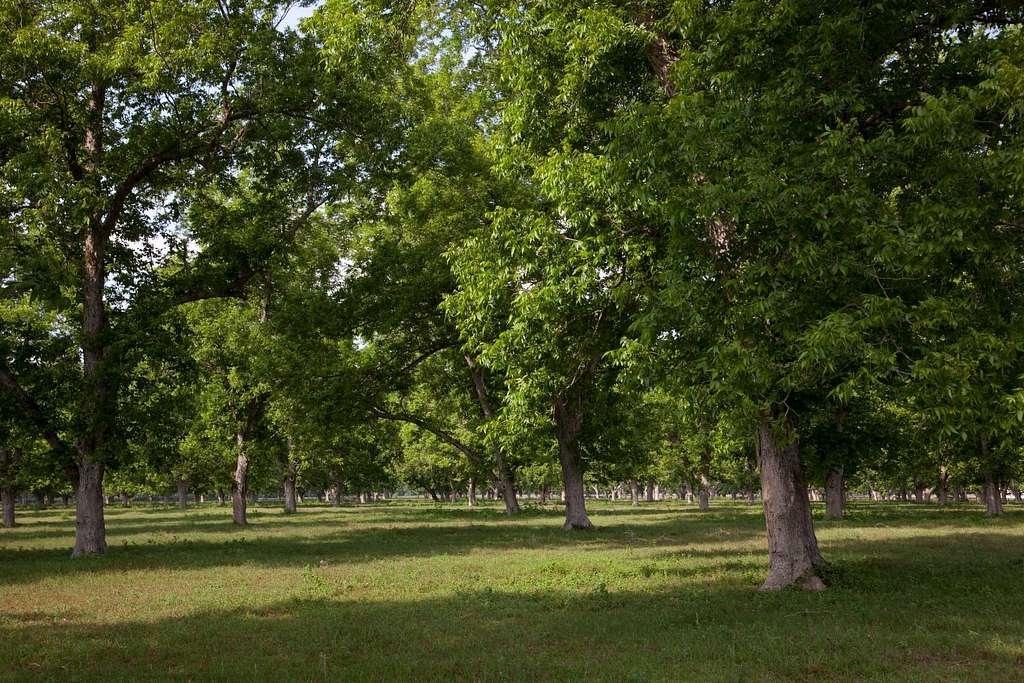 Beautiful communities and rural scenes in Baldwin County, Alabama. Pecan trees are abundant