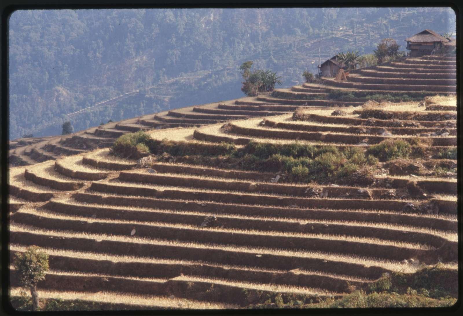 Sikkim, dry season, rice terraces