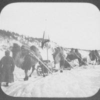 Close-up of bactrian camel caravan on the Amur River