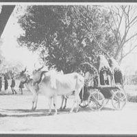 Delhi - a native jut cart or wagon pulled by bullocks