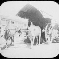 Two bullocks pulling large-wheeled cart