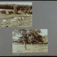Reference prints, 1919-1920, numbers 2133-2377. Cows in field with barn and shed in background II; Group of trees in field
