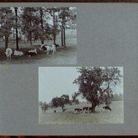 Reference prints, 1919-1920, numbers 2133-2377. Cows resting under trees II