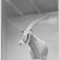 Animals. Antelope's head