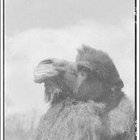 Animals. Camel (head looking left)