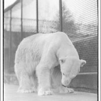 Animals. Polar bear