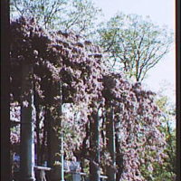 Arlington National Cemetery. Wisteria arbor, vertical in Arlington National Cemetery