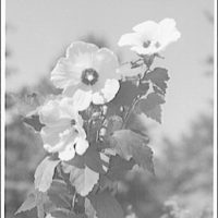 Flowers and plants. Hollyhock I