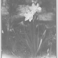 Flowers and plants. Jonquil II