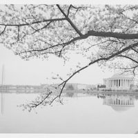 Japanese cherry blossoms. Japanese cherry blossoms with Jefferson Memorial and Washington Monument II