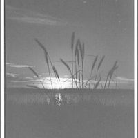 Landscapes. Cattails silhoutted against sky