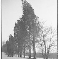 Landscapes. Row of cedar trees with snow II