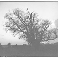 Landscapes. Silhouette of bare trees in cornfield