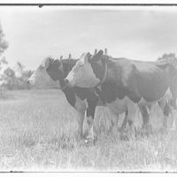 Miscellaneous subjects. Two oxen in field I