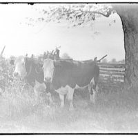 Miscellaneous subjects. Two oxen in field II