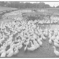 Swift & Co., Clinton, Iowa. View of duck feeding pen